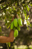 Mano que sostiene el manojo de mangos verdes Fotografía de archivo libre de regalías
