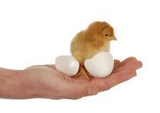 Mano que sostiene el polluelo recién nacido Fotos de archivo libres de regalías