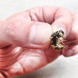 Mano que sostiene la abeja Fotografía de archivo