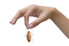 Mano que sostiene la cucaracha marrón sobre el fondo blanco Foto de archivo