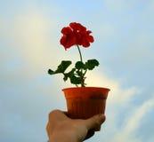 Mano que sostiene la flor del geranio Fotos de archivo libres de regalías