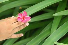 Mano que sostiene la flor rosada del frangipani Fotografía de archivo