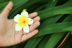 Mano que sostiene la flor rosada del frangipani Fotografía de archivo libre de regalías