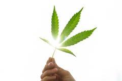 Mano que sostiene la hoja joven de la marijuana Fotografía de archivo libre de regalías