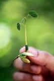Mano que sostiene la pequeña planta Imágenes de archivo libres de regalías