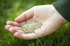 Mano que sostiene la semilla de la hierba Imagenes de archivo
