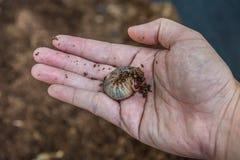 mano que sostiene larvas de un escarabajo de la naranja Imagen de archivo libre de regalías