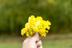 Mano que sostiene las flores amarillas Foto de archivo libre de regalías