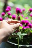 Mano que sostiene las flores del amaranto de globo Imagen de archivo