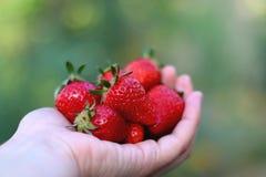 Mano que sostiene las fresas Imagen de archivo libre de regalías