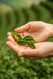 Mano que sostiene las hojas frescas del té Plantaciones de té Foto de archivo