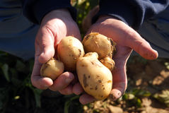 Mano que sostiene las patatas foto de archivo libre de regalías