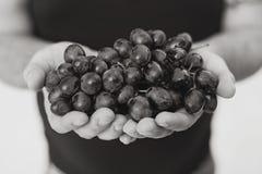 Mano que sostiene las uvas maduras Imagen de archivo libre de regalías