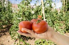 Mano que sostiene los tomates rojos imagen de archivo libre de regalías
