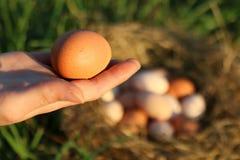 Mano que sostiene todo el huevo fresco del pollo de la granja natural de Brown con la jerarquía en fondo Imagen de archivo
