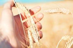Mano que sostiene trigo en el campo Fotografía de archivo libre de regalías