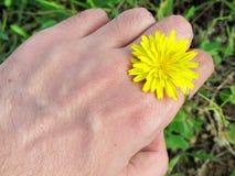 Mano que sostiene un diente de león amarillo Fotografía de archivo libre de regalías