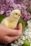 Mano que sostiene un polluelo del bebé Foto de archivo libre de regalías