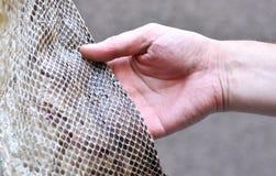 Mano que toca una piel de serpiente del pitón Foto de archivo libre de regalías