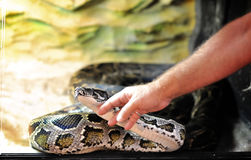 Mano que toca una serpiente del pitón Imagen de archivo