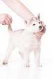 Mano umana che prova a posare il cucciolo del husky Immagini Stock Libere da Diritti