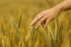 Mano vaga dell'agricoltore nel giacimento soleggiato del grano Fotografie Stock