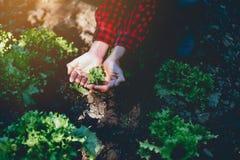 Mano y ensalada y producción de la verdura hechas del cultivo, a de vida imagen de archivo