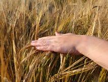 Mano y trigo Imagen de archivo libre de regalías