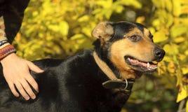 Mano y un perro del hombre Fotos de archivo libres de regalías