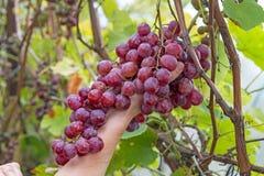 Mano y uvas rojas en un viñedo imagen de archivo