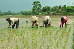 Manodopera agricola del giacimento del riso Fotografia Stock Libera da Diritti