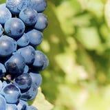 Manojo azul dulce y sabroso de la uva Imagen de archivo