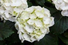 Manojo blanco de la hortensia Imagenes de archivo