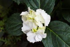 Manojo blanco de la hortensia Fotos de archivo