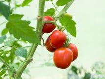 Manojo con cinco tomates rojos Imágenes de archivo libres de regalías
