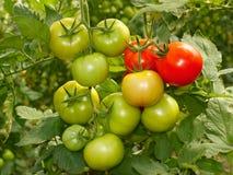 Manojo con los tomates verdes y rojos Fotografía de archivo