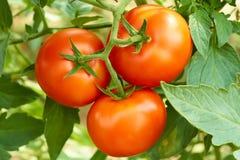 Manojo con tres tomates rojos Fotos de archivo libres de regalías