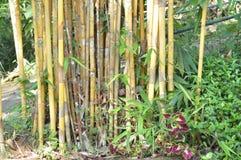 Manojo de árbol de bambú Fotografía de archivo libre de regalías
