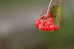 Manojo de bayas rojas maduras del viburnum Imágenes de archivo libres de regalías