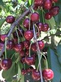 Manojo de cerezas Foto de archivo