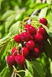 Manojo de cerezas en árbol Foto de archivo