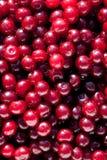 Manojo de cerezas frescas, jugosas, maduras Fotografía de archivo