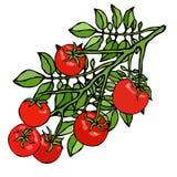 Manojo de Cherry Tomatoes en una rama con las hojas Ejemplo que cultiva un huerto botánico Logotipo de la salsa de tomate o ensal Foto de archivo