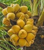 Manojo de coco Imagen de archivo