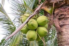 Manojo de cocos Fotos de archivo libres de regalías
