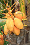 Manojo de cocos amarillos Fotografía de archivo libre de regalías