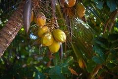 Manojo de cocos amarillos Imagenes de archivo