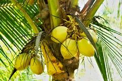 Manojo de cocos maduros Foto de archivo libre de regalías
