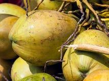 Manojo de cocos verdes Fotografía de archivo