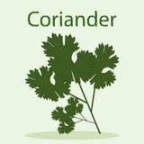 Manojo de coriandro con las hojas verde oscuro Fotos de archivo